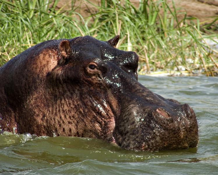 Hippo, Mweya, Queen Elizabeth NP, Uganda