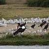 Saddle-bill stork, Mweya, Queen Elizabeth NP, Uganda