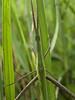 Stick insect, Parc National de la Rusizi, Burundi