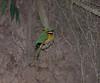 Blue-breasted bee-eater, Lake Bunyonyi, Uganda
