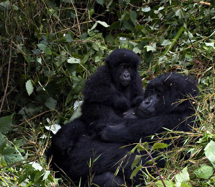 Mother and baby, Parc National des Volcans, Rwanda