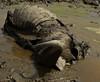 Buffalo carcass, Lake Edward Flats, Queen Elizabeth NP, Uganda