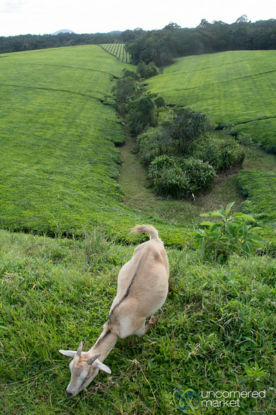 Goat Snacking at the Tea Plantation - Kalinzu Forest Reserve, Uganda