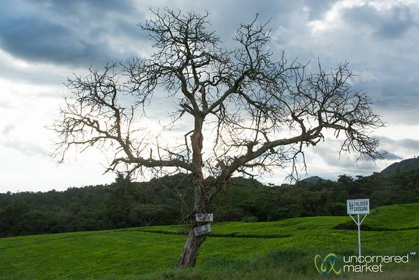Tree at Dusk in the Tea Plantation - Kalinzu Forest Reserve, Uganda