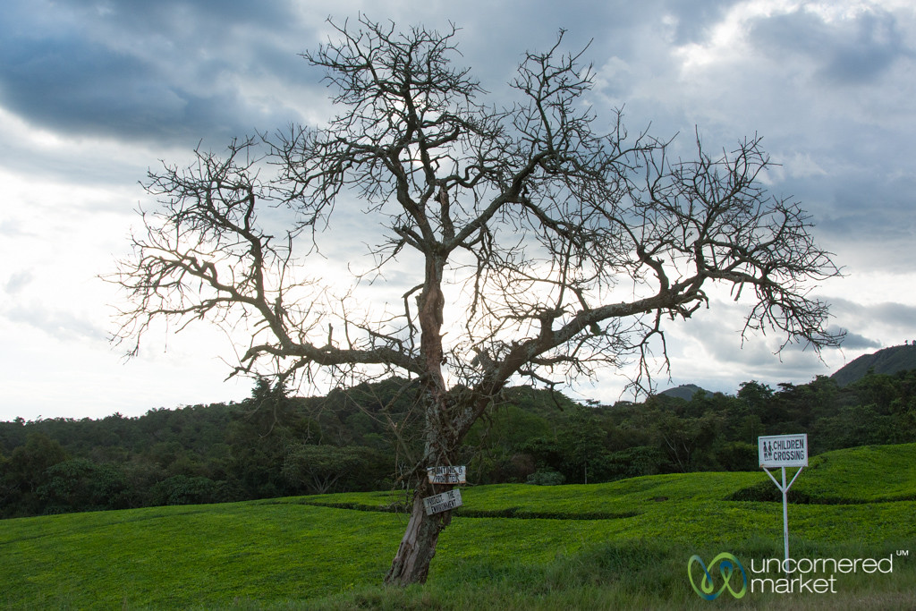Tree at Dusk in the Tea Plantation - Kalinzu Forest Reserve, Uganda