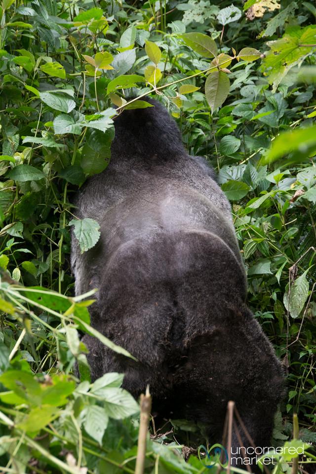 Huge Silverback (Male) Gorilla from Behind - Bwindi National Park, Uganda