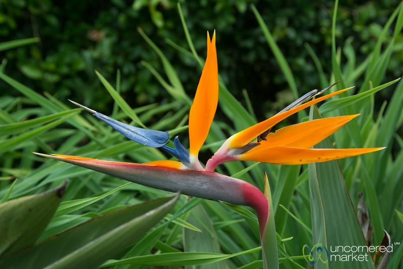 Bird of Paradise Flower - Lake Bunyonyi, Uganda