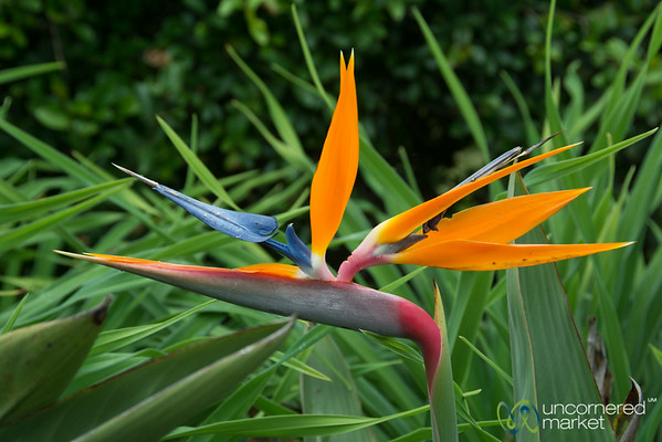 Bird of Paradise Flower - Lake Bunyonyi, Uganda