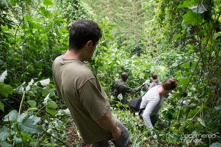 Gorilla Trekking, Climbing Through Forest - Bwindi National Park, Uganda