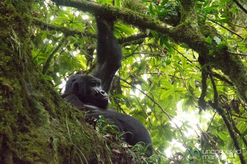 Gorilla Teenager with Belly - Bwindi National Park, Uganda