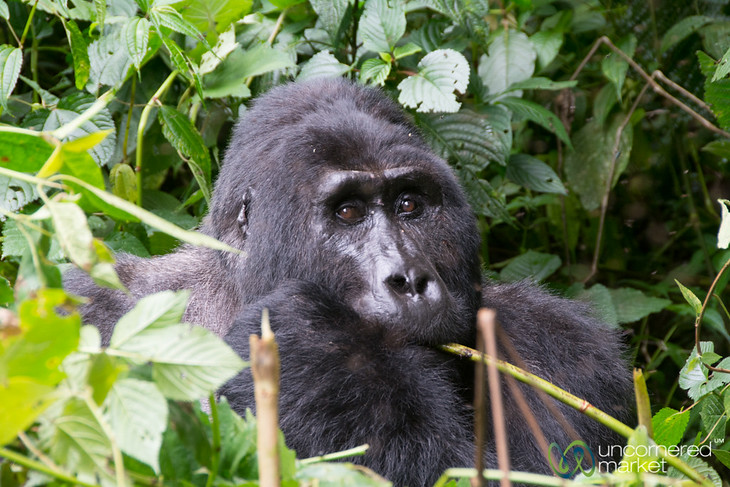 Up Close with Kakono, the Silverback Male Gorilla of the Mishaya Group - Bwindi National Park, Uganda