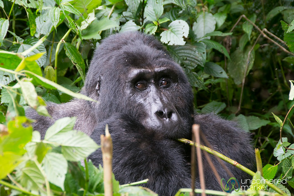 Up Close with Kakono, the Silverback Male Gorilla of the Mishaya Group - Bwindi National Park, Uganda