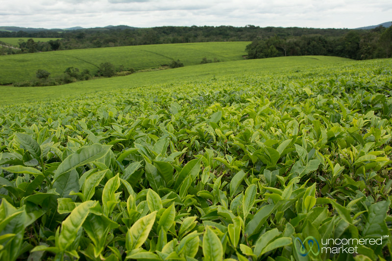 Tea Plantation Near Kalinzu Forest Reserve - Uganda