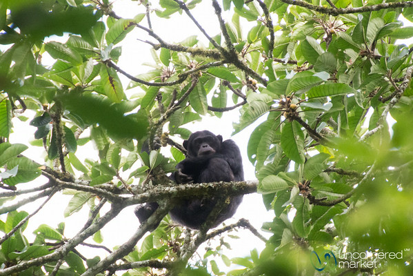 Chimpanzee High in the Tree - Kalinzu Forest Reserve, Uganda