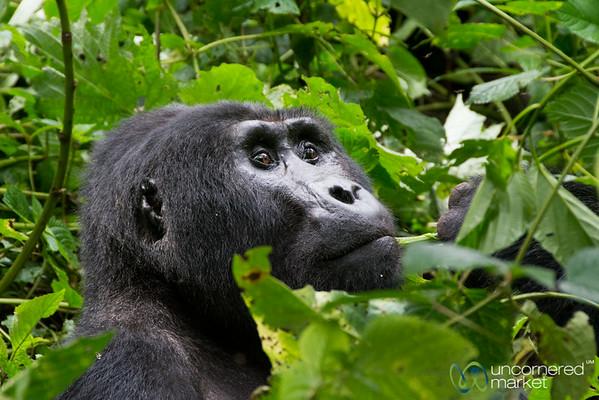 Pensive Gorilla - Bwindi National Park, Uganda