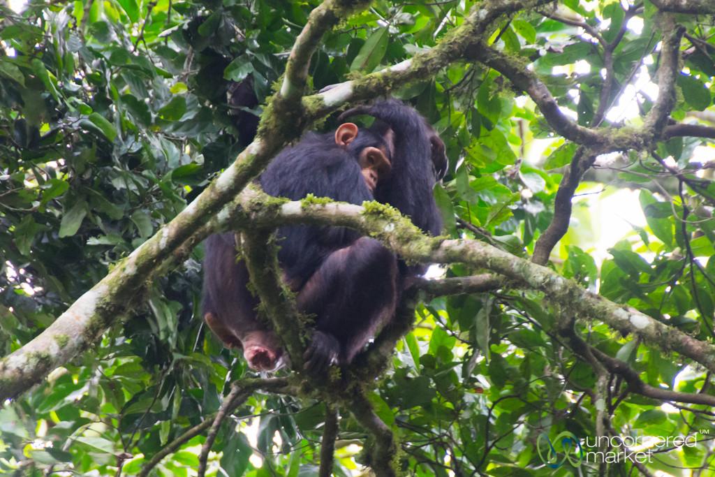 Chimpanzee Mother and Baby - Kalinzu Forest Reserve, Uganda