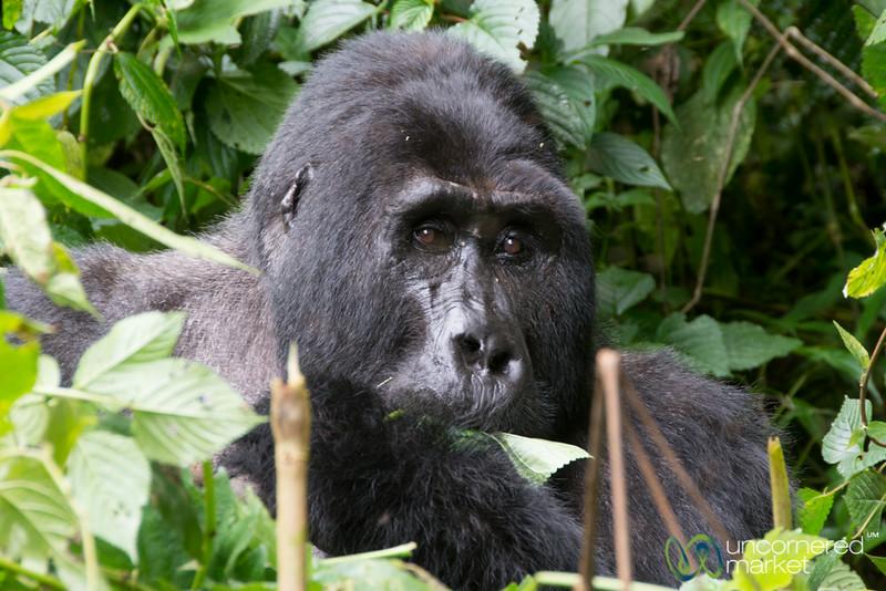 Kakona, the Silverback Gorilla - Bwindi National Park, Uganda