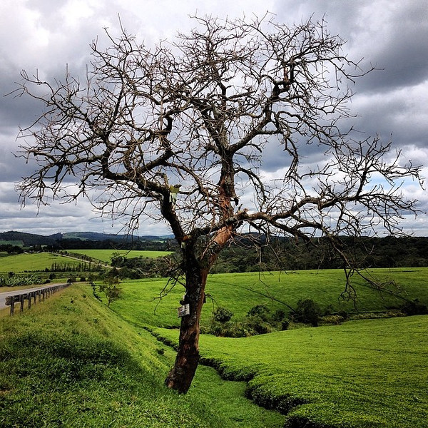 Lonely tree on the edge of a tea plantation. Yes, Uganda even has tea. Lots of it...see the field on right. Taken at Ankole Tea Estate, on the edge of Kalinzu Forest Reserve. via Instagram http://ift.tt/1l8Pbpv