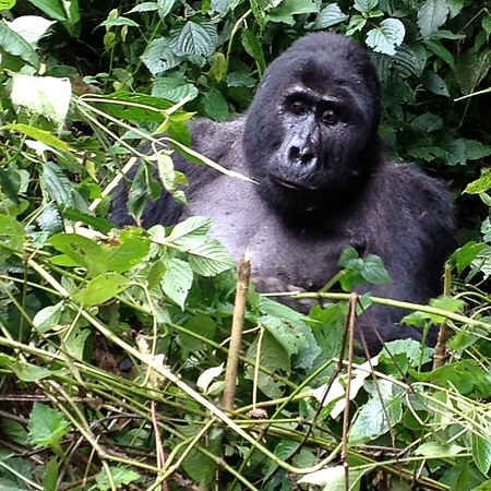 Our very first encounter with the mountain gorillas in the Ugandan jungle. This guy: Kakono, the contemplative silverback alpha male of Mishaya family. via Instagram http://ift.tt/1jAH1q3