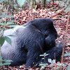 Silverback Mountain Gorilla--This one is an Alpha Male, the dominant male of group. Bwindi Forest National Park