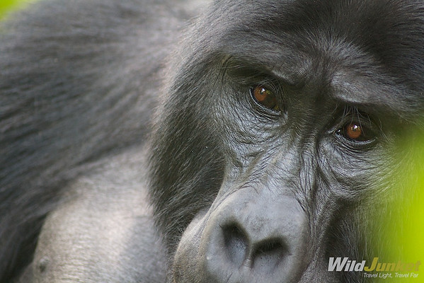 Up close with a gorilla in Bwindi