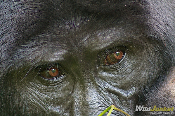 The eyes of the silverback