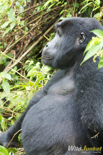 the female gorilla sitting still