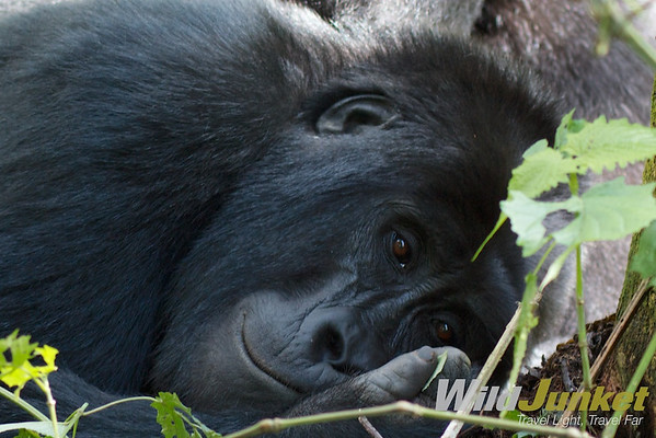 A lazy gorilla