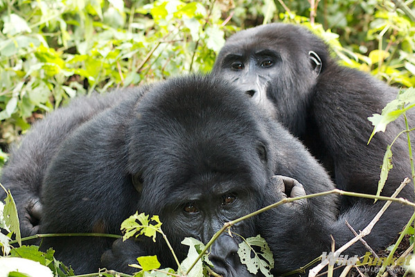 The pair of loving gorillas