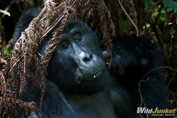 Gorilla Tracking in Uganda - Part II