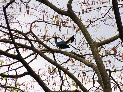 Great blue turaco (Corythaeola cristata) in a tree.