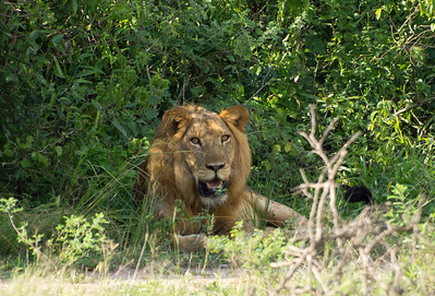 Male lion that we spotted shortly after entering Queen Elizabeth National Park on the way to the Mweya lodge.