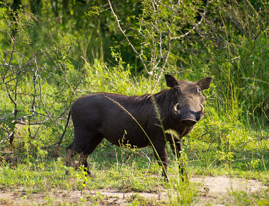 Wart hog.  Probably the best photo of a wart hog that I have ever taken.  They usually are very timid and run from you once they spot you.  So I have a lot of photos of the rear ends of wart hogs.