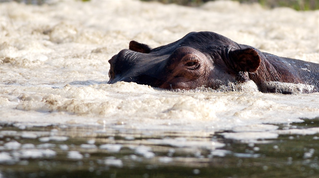 Hippopotamus enjoys a foam bath near Murchison Falls, Uganda.