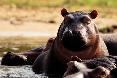 Juvenile hippopotamus