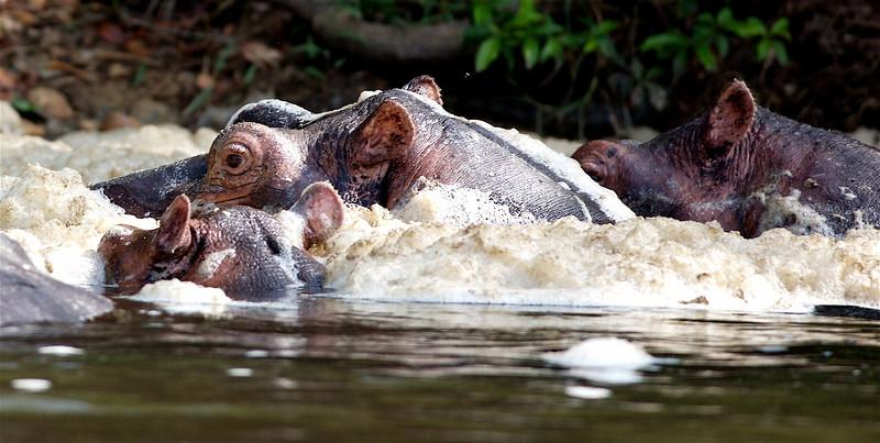 Hippos enjoy a foam bath