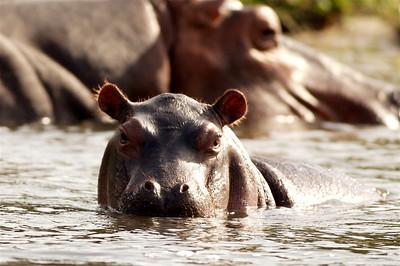 Juvenile hippo, Uganda