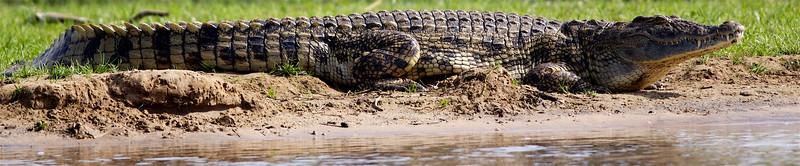 Nile crocodile, Uganda