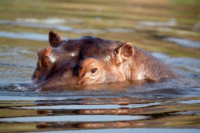 Hippo; Kazinga channel; Uganda