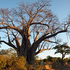 Baobab tree in Zimbabwe
