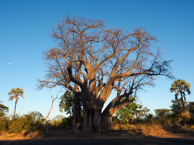 The Big Tree in Victoria Falls, ZImbabwe