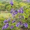 including jacaranda bushes,