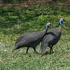 These are helmeted Guinea fowl, not to be confused with....