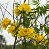 pretty little yellow flowers,