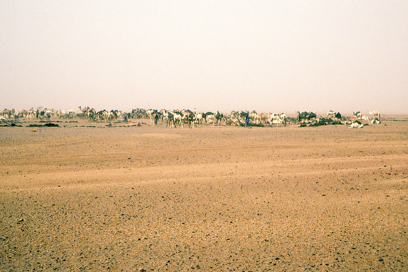 On our way to Agadez we pass a watering hole and a gathering of camel, goat and donkey herds.