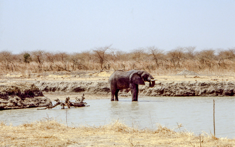 lonely male elephant quenching his thirst