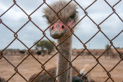Ostrich ranch in Dakhla, Western Sahara