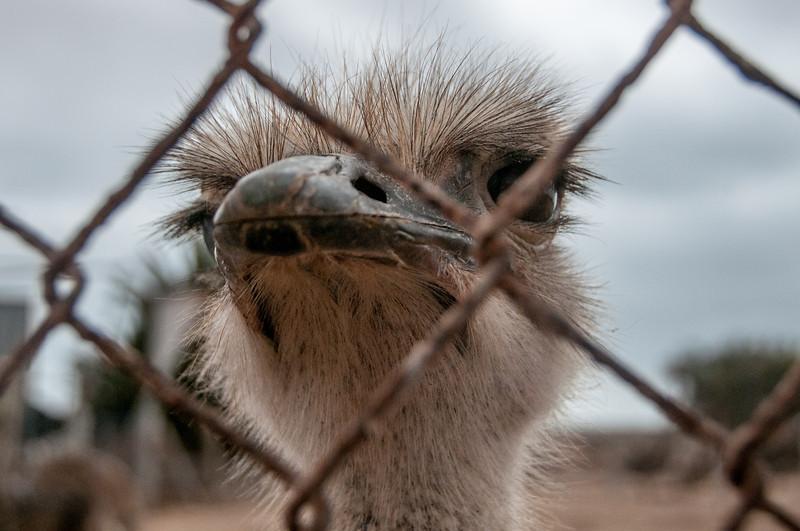 Ostrich ranch in Dakhla, Western Sahara