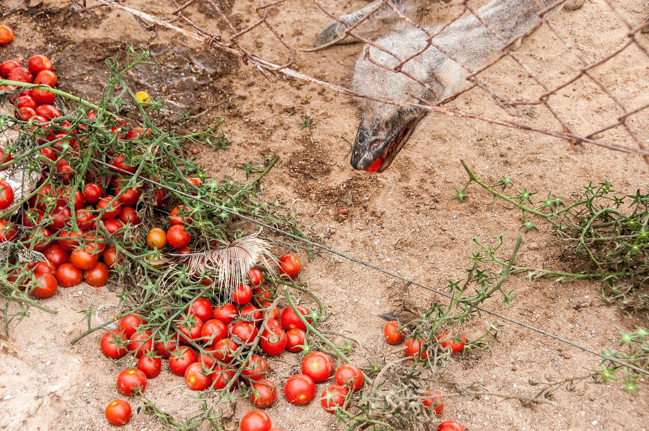 Feeding in ostrich ranch in Dakhla, Western Sahara