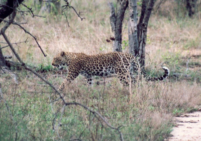 Un-monitored female leopard